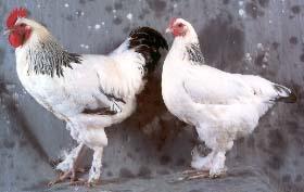 poule marans hermine