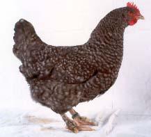 poule marans coucou